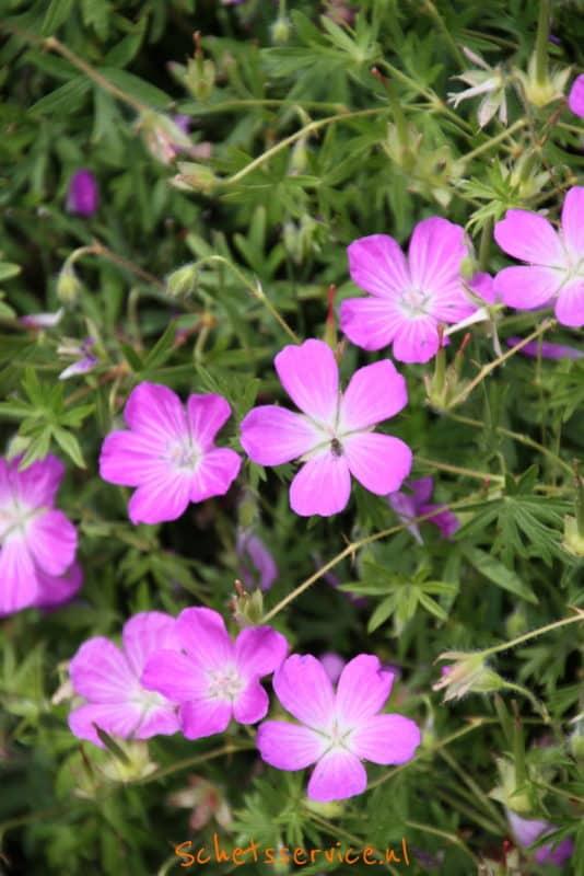 Geranium 'Orkney Pink' – Roze ooievaarsbek