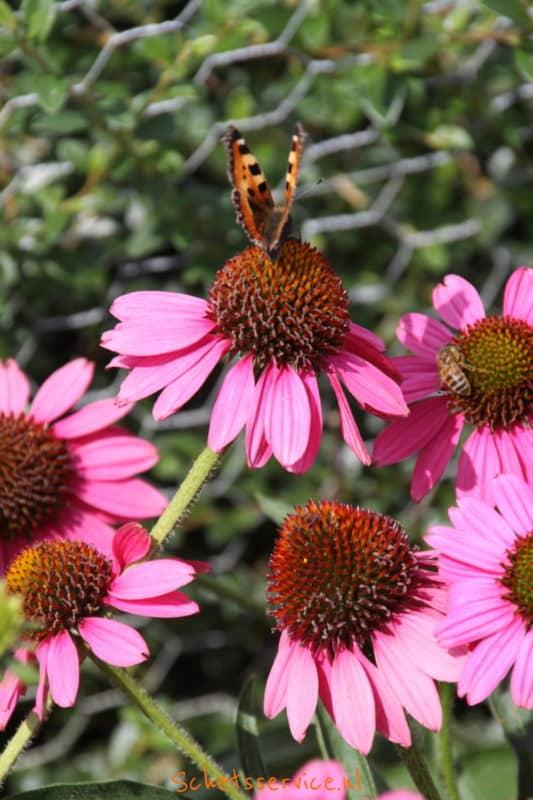 Echinacea ´Rosenrad´ – Rode Zonnehoed