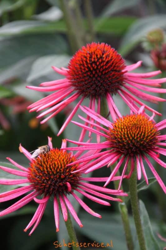 Echinacea 'Orange Spider'