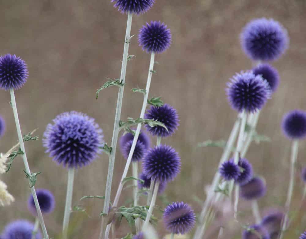 Echinops ritro 'Veitch's Blue' - Kogeldistel
