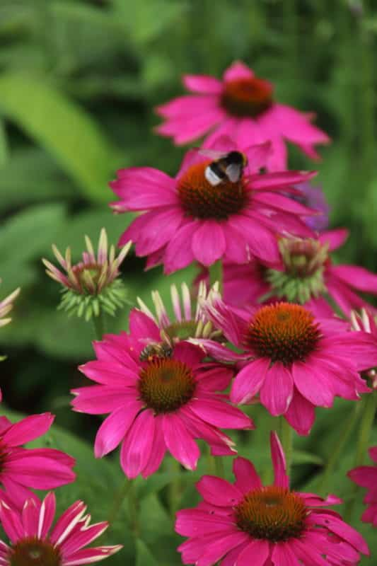 Echinacea 'Pink Passion' – Rode zonnehoed
