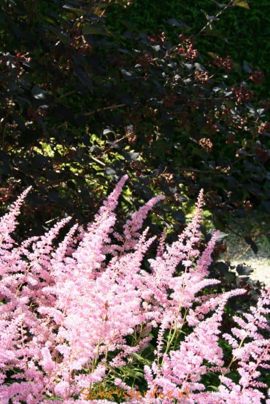 Astilbe – Pluimspirea (roze)