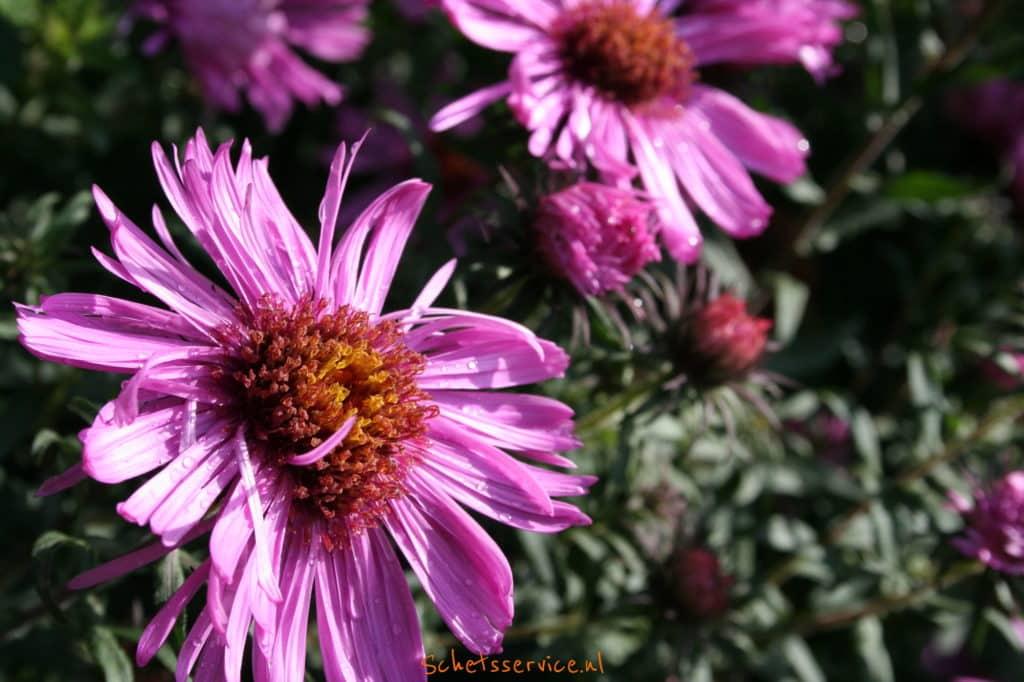 Aster amellus 'Rosa Erfüllung' – Herfstaster