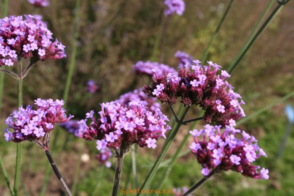 Verbena bonariensis – IJzerhard