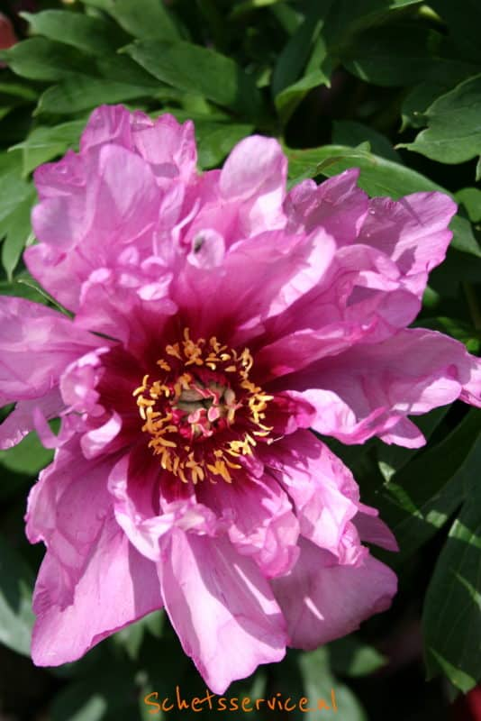 Paeonia Itoh-hybride 'First Arrival'