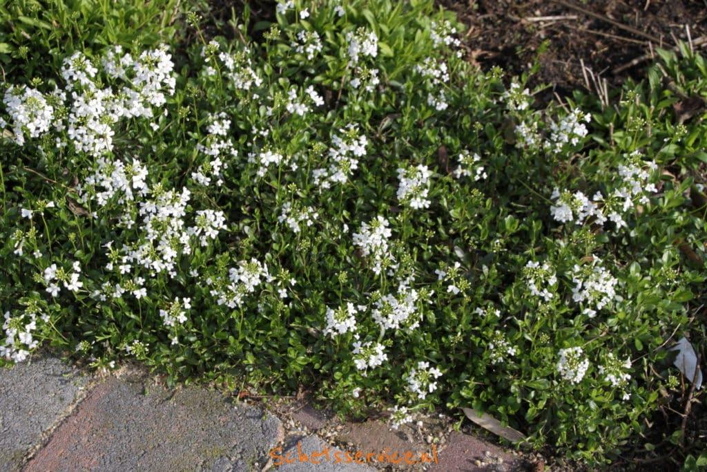Witte Vaste Planten.Wit Bloeiende Vaste Planten Schetsservice
