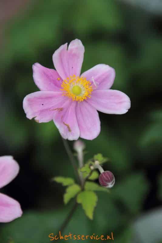 Anemone hybrida 'Lady Gilmour'