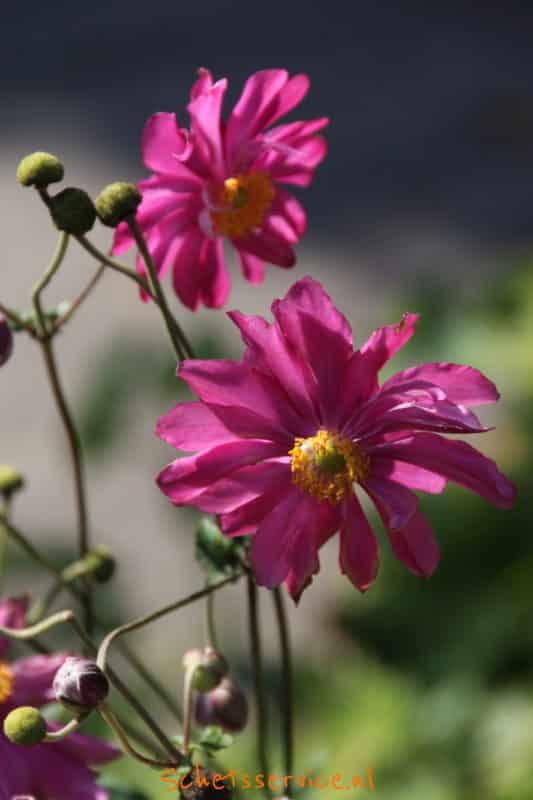 Anemone hupehensis var. japonica 'Amaranthe'