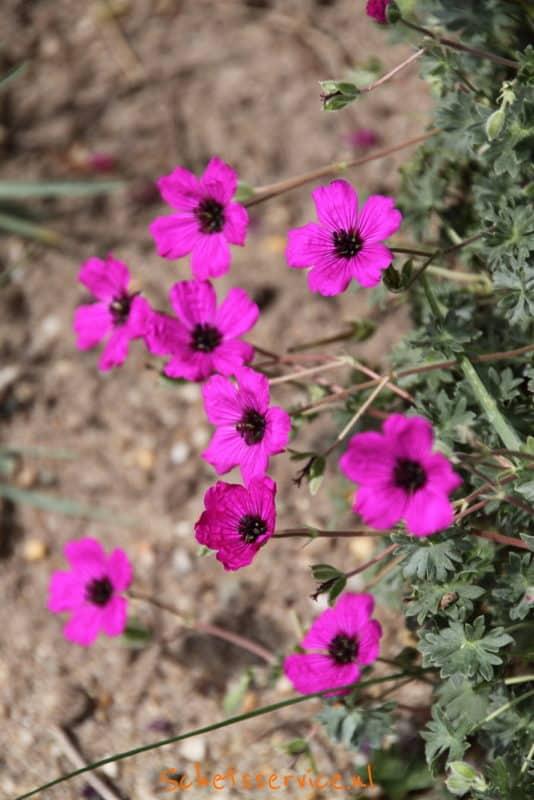 Geranium cinereum var. subcaulescens