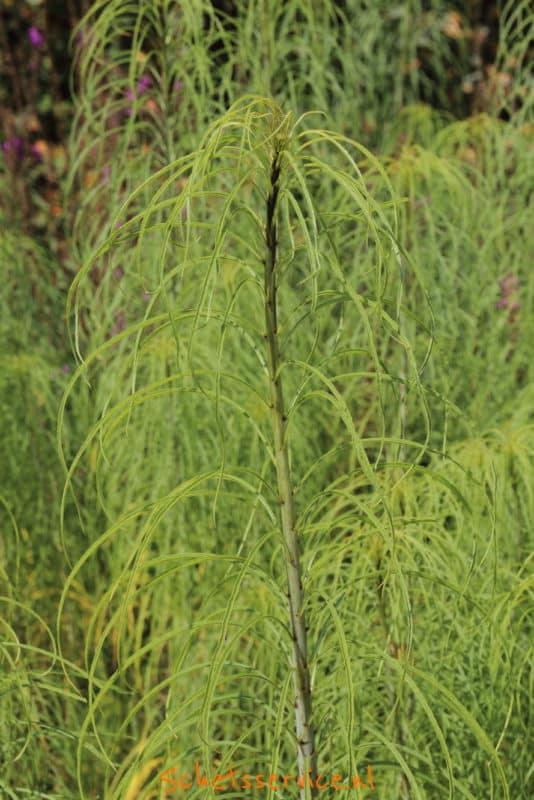 Helianthus salicifolius Image
