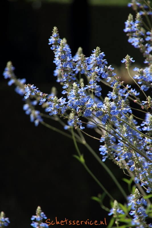 Salvia uliginosa Image