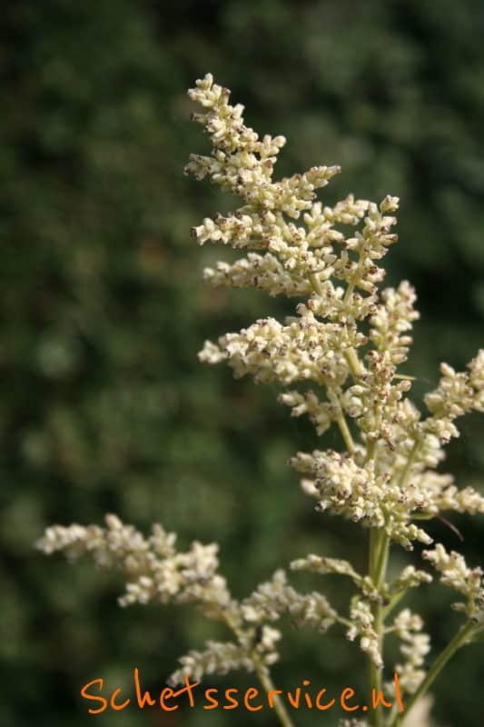Artemissia lactiflora Image