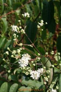 Heptacodium miconioides Image