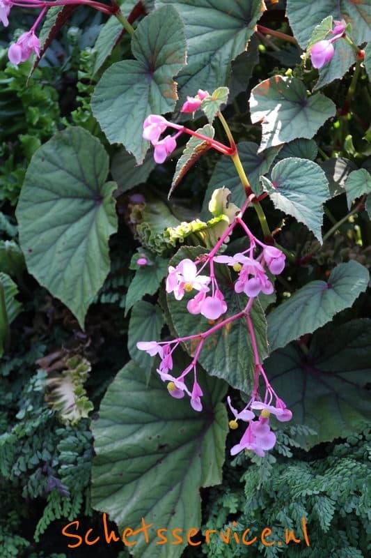 Begonia grandis evansiana Image